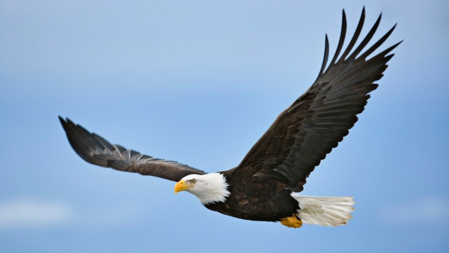got spare time us forest service needs help counting bald eagles