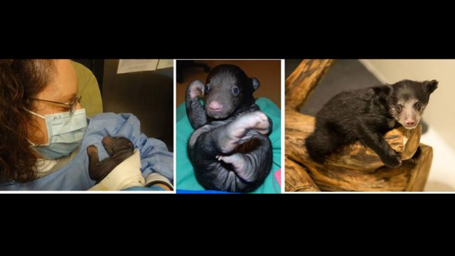 Sloth Bear Eats Two Cubs; Keepers Wear Surviving Cub in Baby Sling