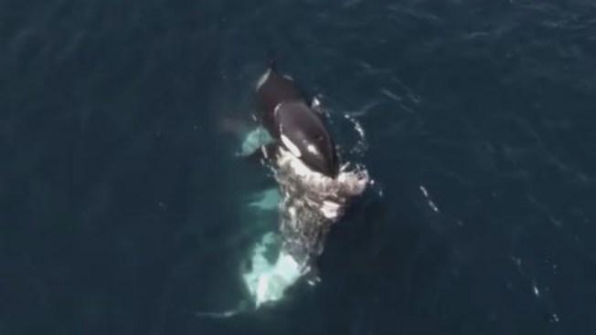 Orcas Stage Unprecedented Killing Spree in Monterey Bay