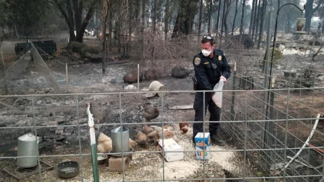 CHP Officer Feeds Chickens Who Survived Butte County Fire