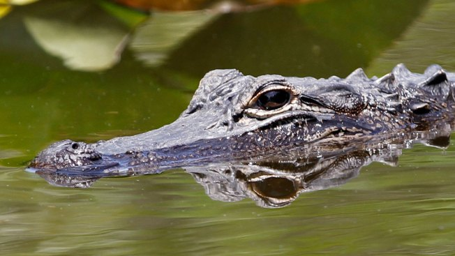 Florida Agency's Undercover Gator Farm Leads to 9 Arrests