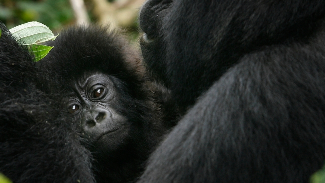 Hunting Pushes Eastern Gorilla on to Critically Endangered Species List