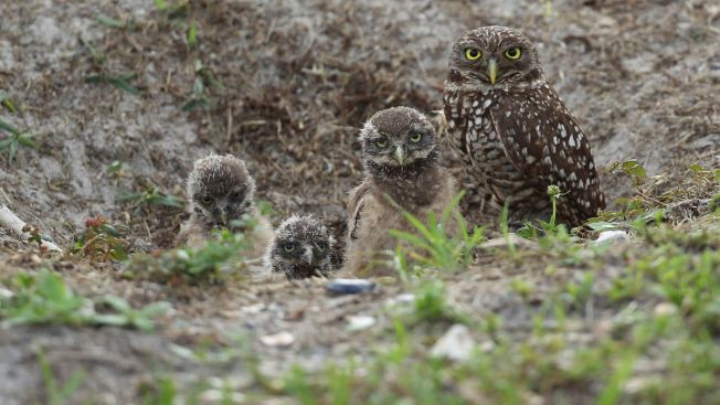Rare Owls Thrive in Ghost Town Near Los Angeles Airport