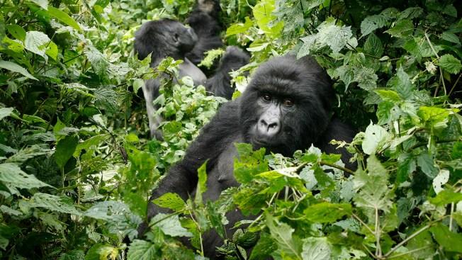 Park Ranger Strikes a Selfie Pose With Gorillas
