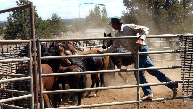 Get $1,000 for Adopting a Wild Horse or Burro