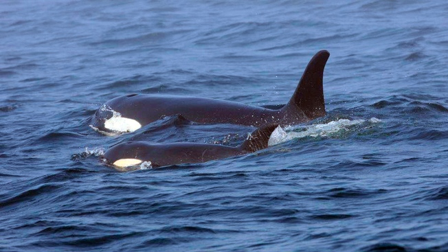 Ailing Killer Whale Declared Dead, But Feds to Keep Looking