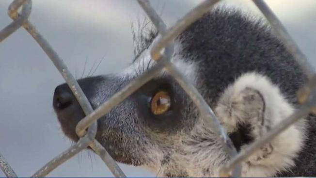 Man Who Stole Endangered Lemur from Santa Ana Zoo Sentenced to Federal Prison