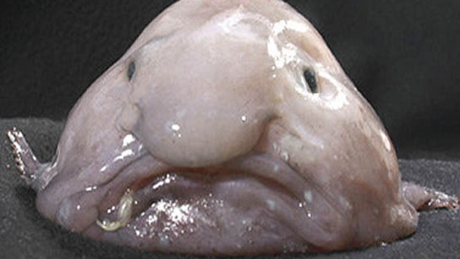 Sad-Faced Blobfish Named World's Ugliest Animal