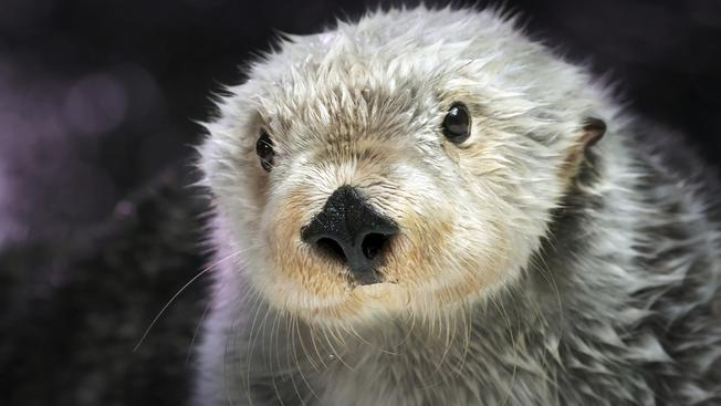 Aquarium of the Pacific Remembers a Beloved Sea Otter