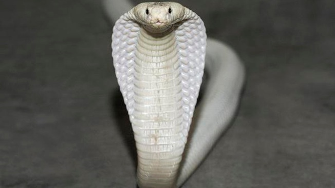 Name That Snake: Cobra to Go on Display