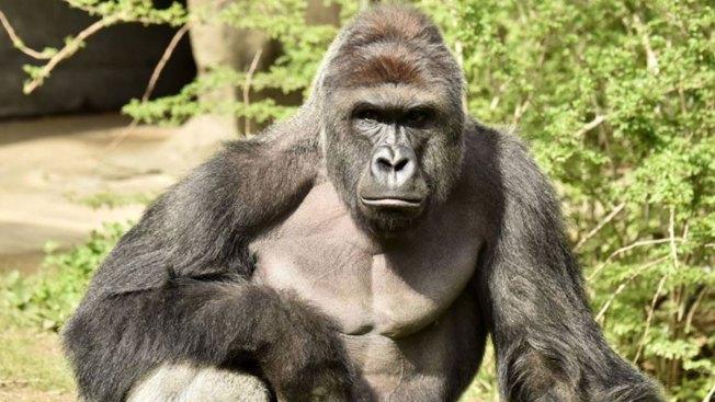 Gorilla exhibit barrier didn't meet USA standards when Harambe was shot