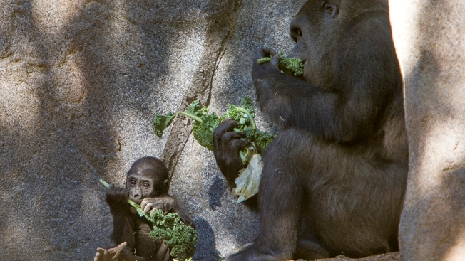 Safari Park's Baby Gorilla Crawling, Eating, Growing