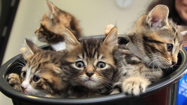 LA City Council Considers Raising Cat Limit to 5 Per Household