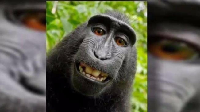 No Monkeying Around: Court Weighs if Macaque Owns its Selfies