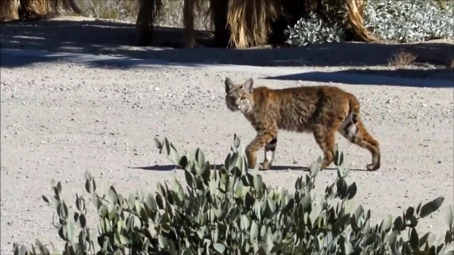 Bobcat Back in Wild After Being Hit by California Police Car