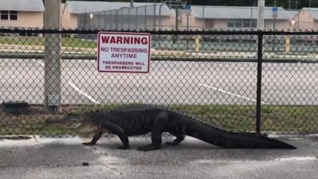 8-Foot Alligator Strolls by Florida Middle School, Stops Traffic