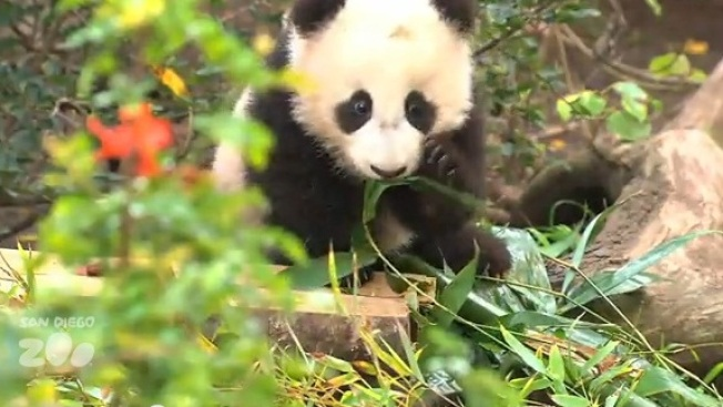 Panda Cub Romps in New Outdoor Digs