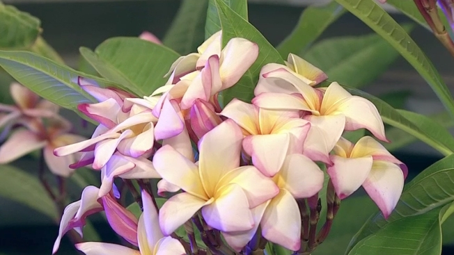Plumeria Day at the LA Arboretum