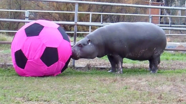 Nation's Oldest Pygmy Hippo Celebrates 40th Birthday in San Diego