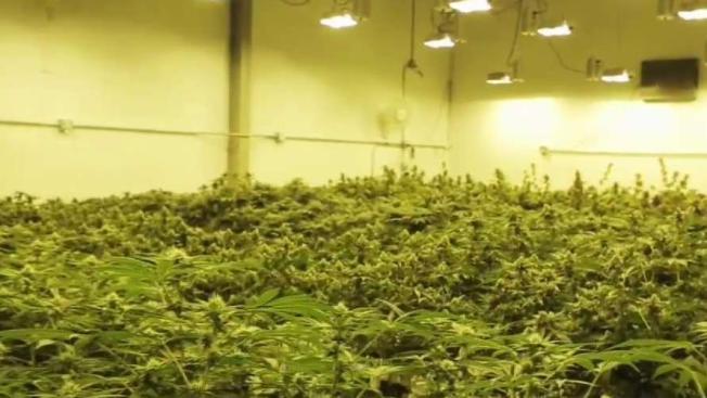 40,000 Illegal Marijuana Plants Found in Riverside