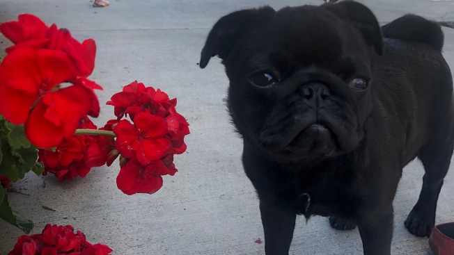 Dog Owner Seeks Apology From Dog Sitting App After 9-Month-Old Pug Dies