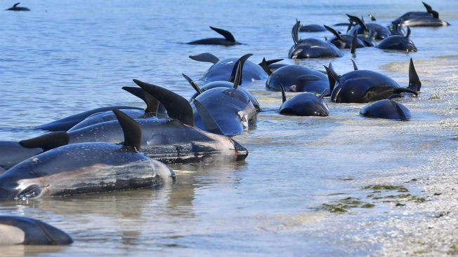 More Than 200 Whales Saved From New Zealand Stranding