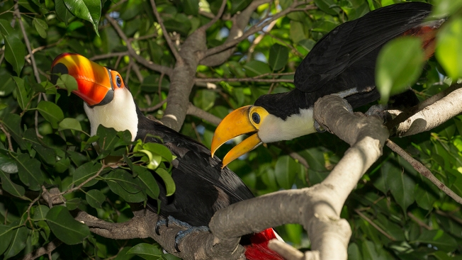 Twin Toucan Chicks Spread Their Wings at the San Diego Zoo