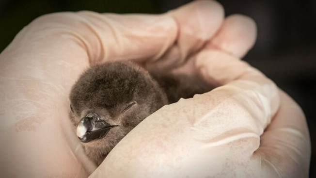 Penguin Chick: An Aquarium Cutie's Debut