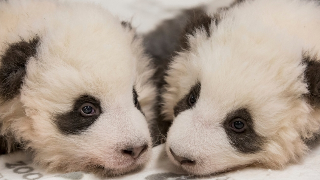 Twice as Cute: Berlin Zoo Releases New Photos of Panda Twins