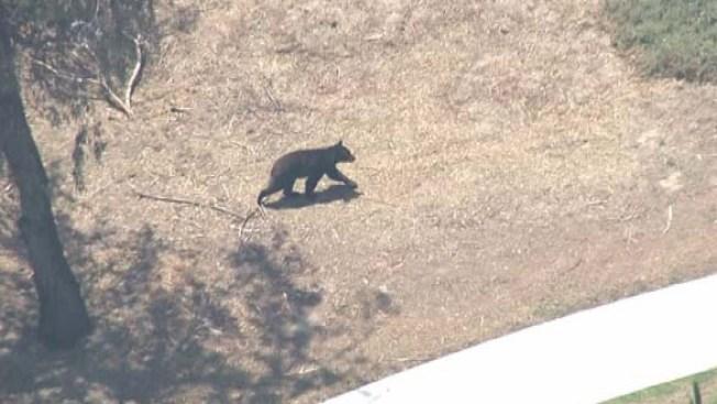 Bear on Granada Hills Golf Course