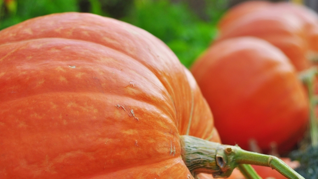 Pumpkins, Sunshine, and, Oh Yeah, Insects