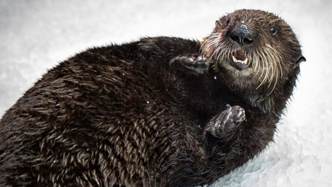 A Day in the Life of a Rescued Otter Pup