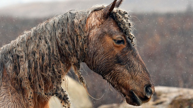 Far From Thoroughbred Farms, Man Tries to Save Wild Horses