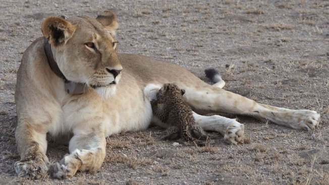 Lion Nurses Adorable Leopard Cub in Tanzania