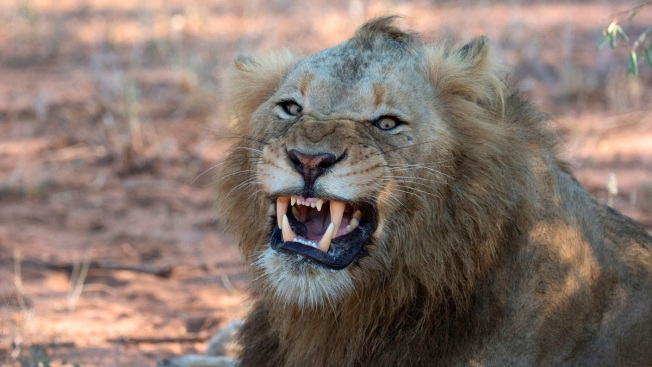 Suspected Rhino Poacher Killed by Elephant Then Eaten by Lions