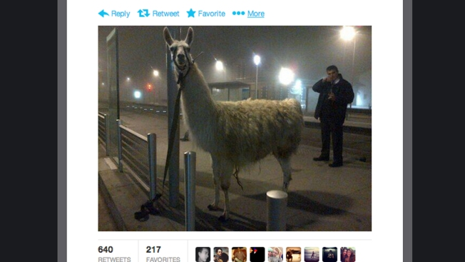 Drunk Youngsters Take Circus Llama on a Tram Ride in France