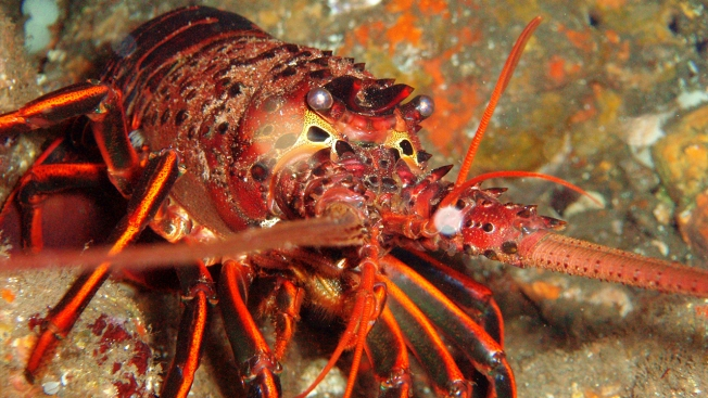 Poachers Sentenced After Taking More Than 250 Lobsters From Marine Reserve