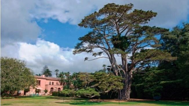 Beloved Cypress: A Lotusland Farewell