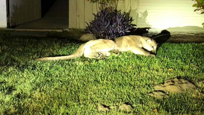 Mountain Lion Caught in San Joaquin Valley Yard is Released into Wild