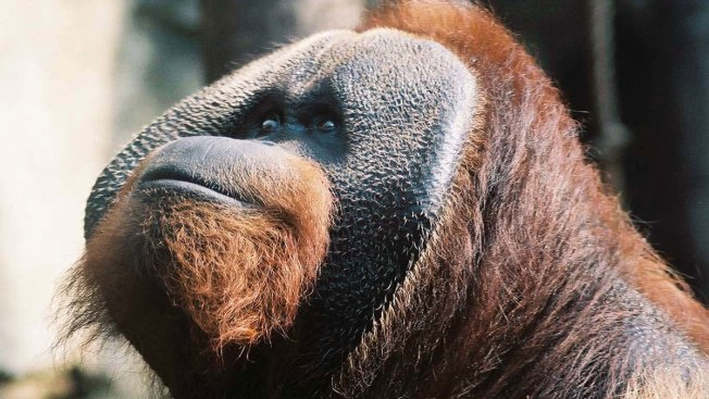 Orangutan That Loved 'Price Is Right' Dies at Ohio Zoo