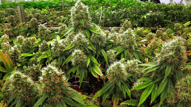 Study: Deadly Pesticide Use Increases at Illegal Pot Farms