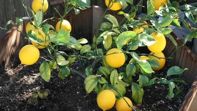 Fallen Fruit Public Tree Adoption