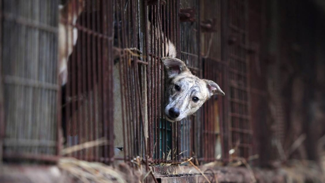 Olympic Crackdown on Dog Meat Fails to Banish It From Menus