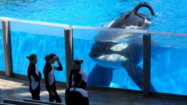 SeaWorld's Tilikum, Orca That Killed Trainer, Dies