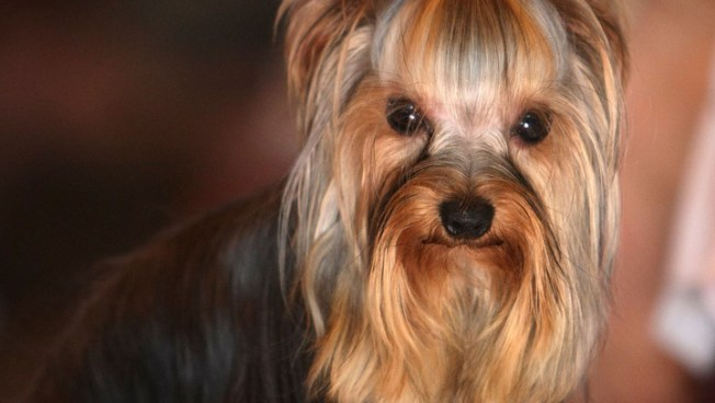 $10,000 Reward Offered in Yorkies Theft