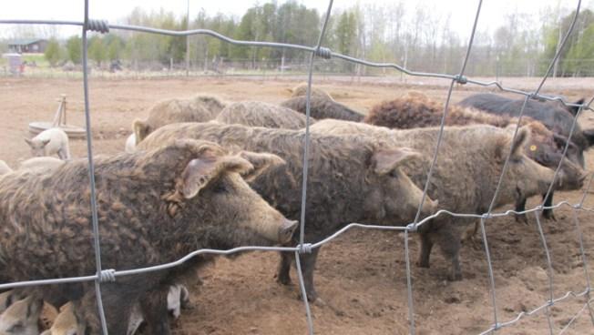 200 Hogs Headed to CA Trapped on Nebraska Road