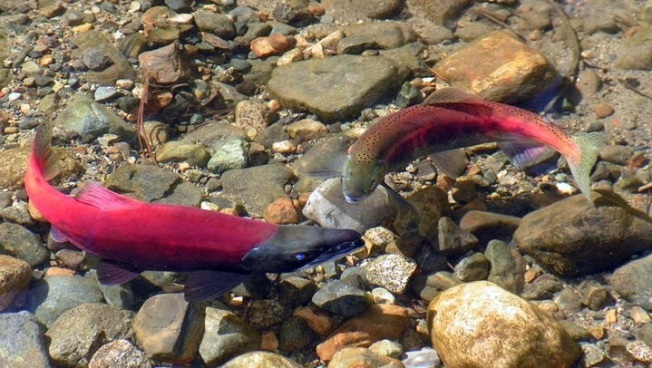 Kokanee Salmon Festival at South Lake Tahoe