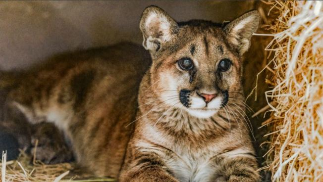 Animal Activists Want Mountain Lions Protected