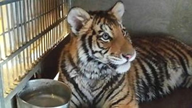 Rapper Tyga Could Face Charges for Pet Tiger