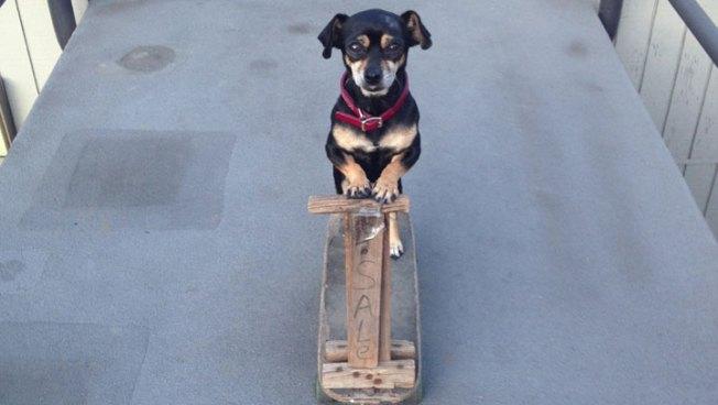 Chiquita, the Skateboarding Chihuahua, Finds Her Home in Laguna Beach